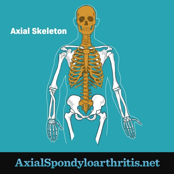 A human axial skeleton which includes the skull, spine, and ribs.